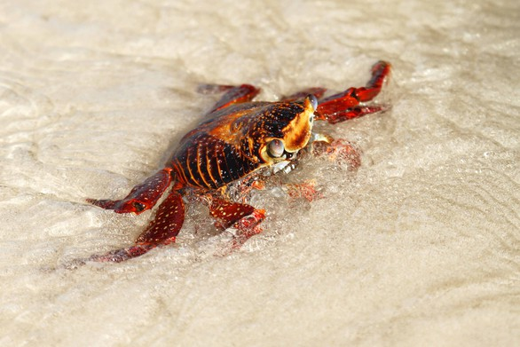 Sally Lightfoot Crab*