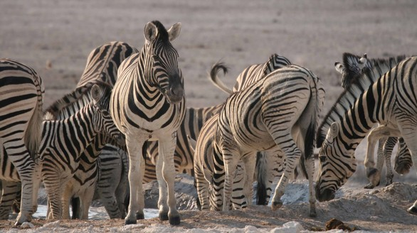 Zebra thirst versus fear at a water hole