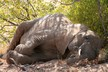 Elephants really do sleep lying down
