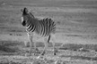 Burchell's Zebra (black and white)