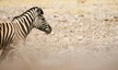 Flighty zebra