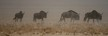 Wildebeest in the dust, dry season, Etosha National Park, Namibia